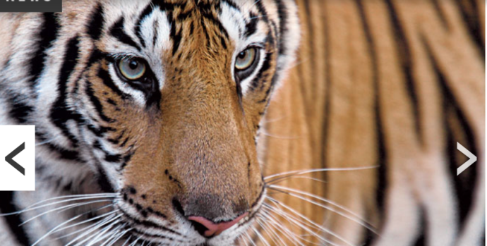 Tigre Discovery News
