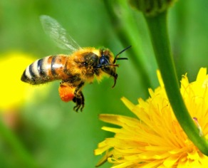 Instante en el que una abeja, se aproxima a una flor para recolectar en ella el néctar y el polen, a partir del cual elaborará la miel.