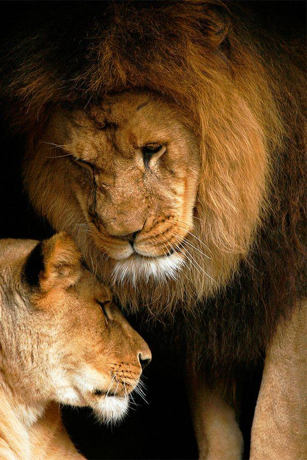 Amor de leones animals in Africa