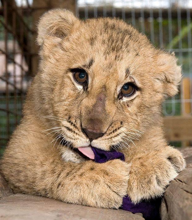 Cachorrito de leon lindo
