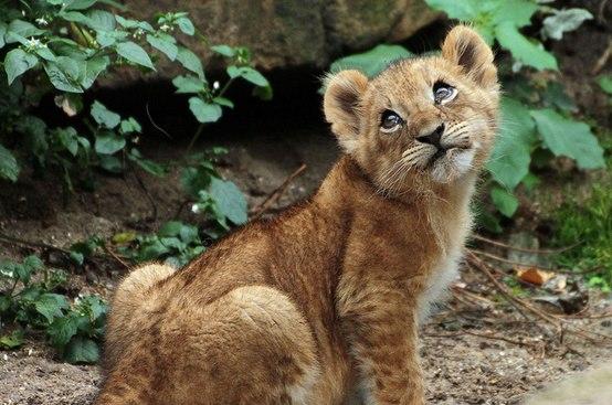 Cachorro de león regañado Amigos Mundiales