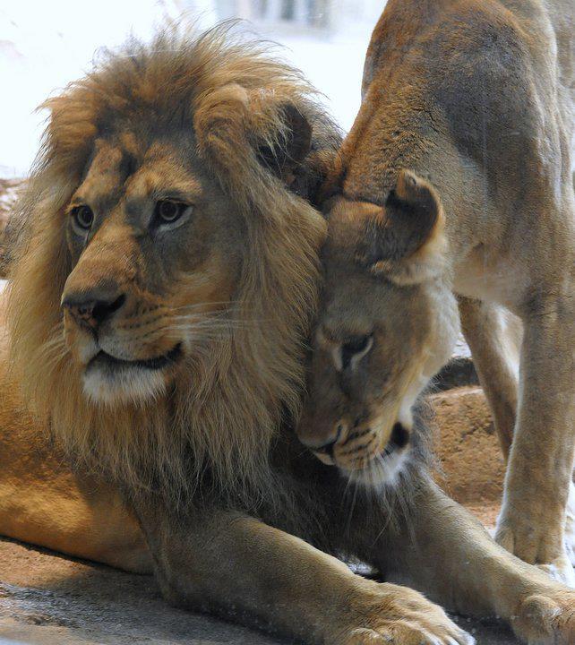 Leona cariñosa con su leon internet