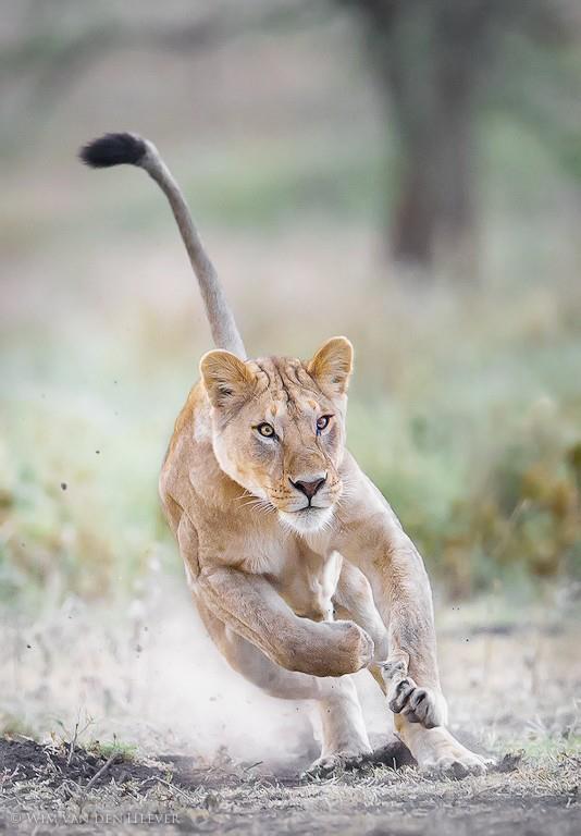 Leona cazando Amigos Mundiales