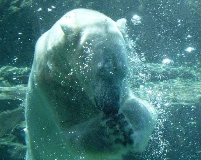 Oso polar bajo el agua Cheryl Maldonado