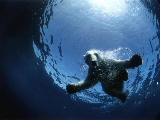 Oso polar nadando Amigos Mundiales