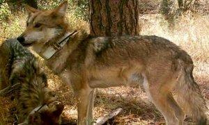 LOBO MEXICANO extinto en estado silvestre arton