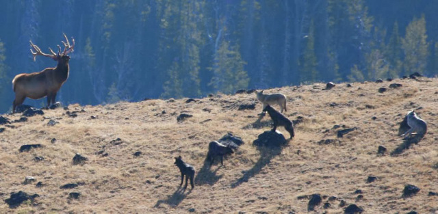 lobos alce yellowstone