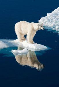 oso polar el Artico se derrite