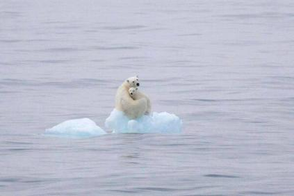 Osa polar y osezno casi sin hielo