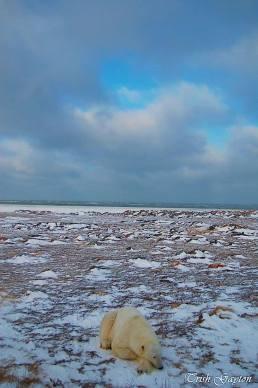 Oso polar echado en paramo con muy poca nieve