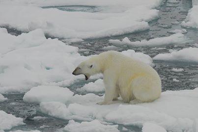 Oso polar en hielo derritiéndose