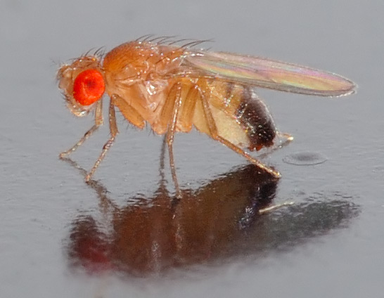 Drosophila_melanogaster_-_side_Andre Karwath aka Aka