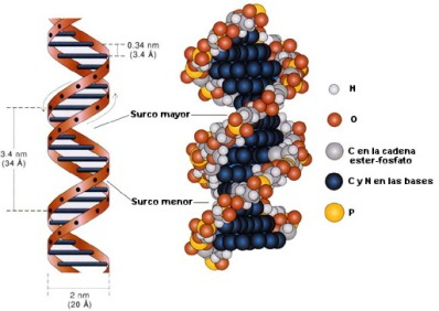 ESTRUCTURA ADN