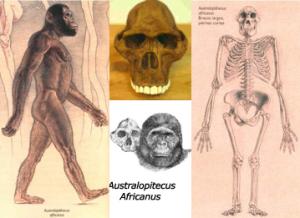 australop_africanus