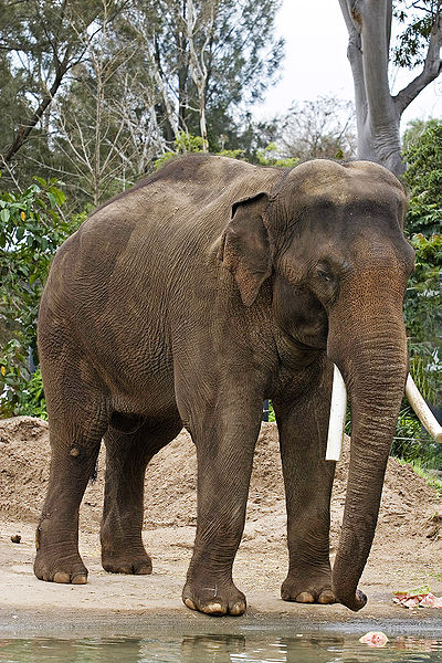 Asian_elephant_-_melbourne_zoo foto Fir0002