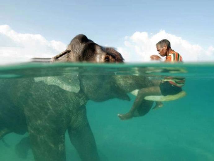 elefante nadando