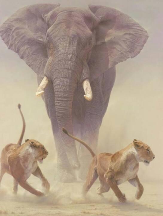 Elefante persiguiendo a dos leonas Animals in Africa ©