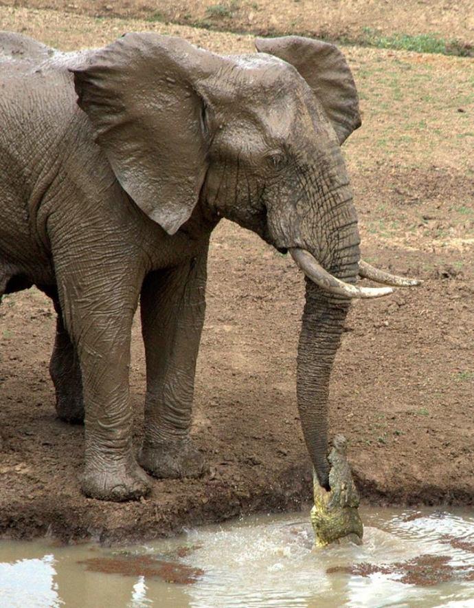 Elefante y cocodrilo Daily Mail