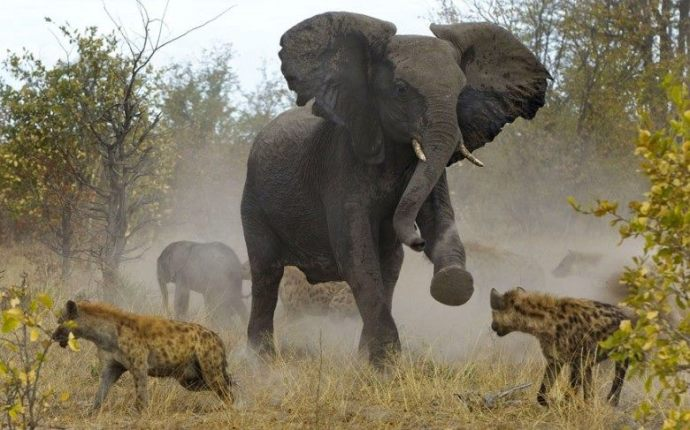 Elefantes defendiendose de hienas