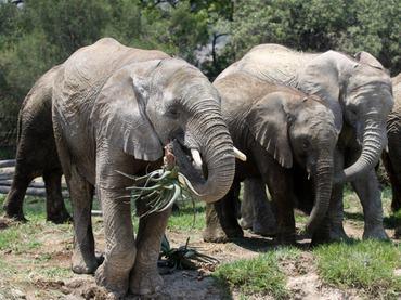 Elefantes especie en peligro de extincion