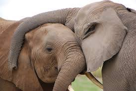 Elefantes pareja