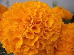 Cempasuchil o Xempoalxochitl flor de muerto en México
