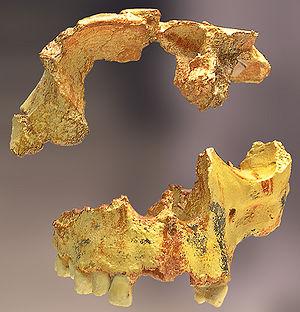 Homo_antecessor Gran Dolina Atapuerca España
