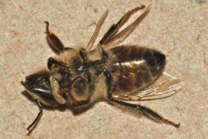 Una, de tantos millones de abejas que mueren a diario en nuestro planeta.