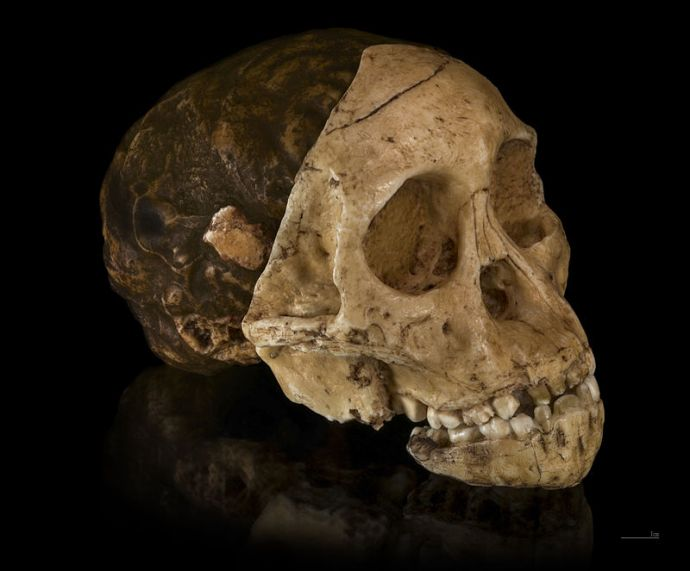 Australopithecus_africanusCast_of_taung_child Didier Descouens