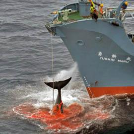 ballenas-caza-02