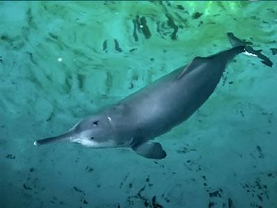 delfin-baiji-en-peligro-de-extincion