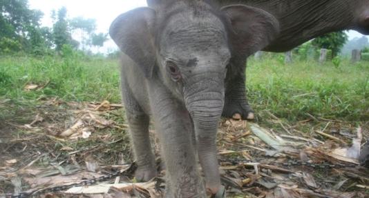El-elefante-de-Sumatra-esta-en-peligro-de-extincion