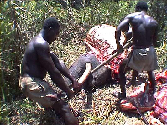 elefantes marfil caza ilegal