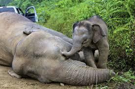 Elefantito con su madre muerta