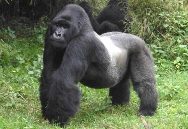 gorila de montaña