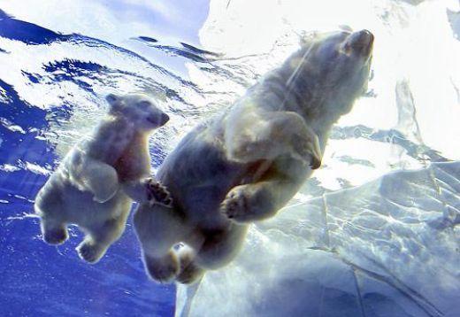 Mama osa y osezno nadando sin hielo