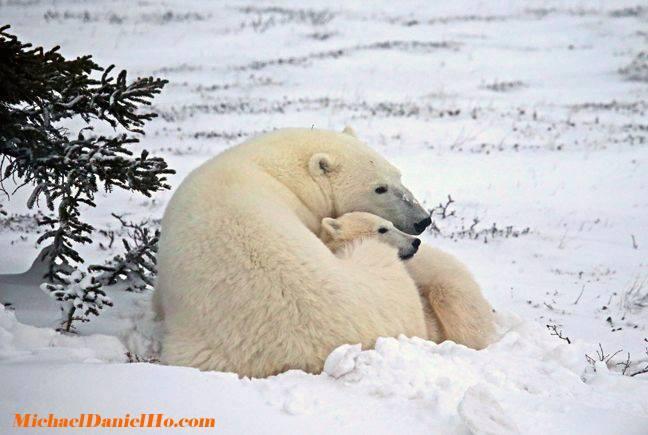 Mamá opsa polar y su osezno echados