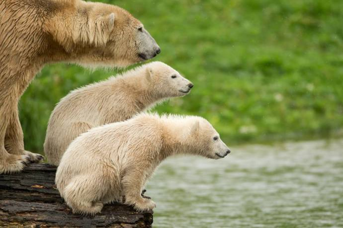 Mamá osa y sus oseznos sin hielo  Polar Bears International