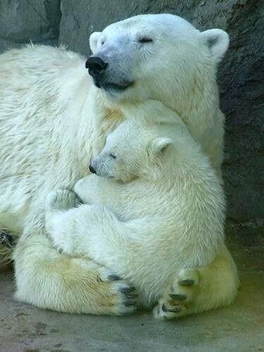 Osa polar con su pequeño estan en peligro de extincion