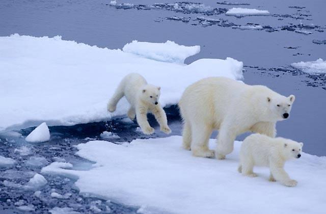 Osa polar y sus oseznos en el deshielo