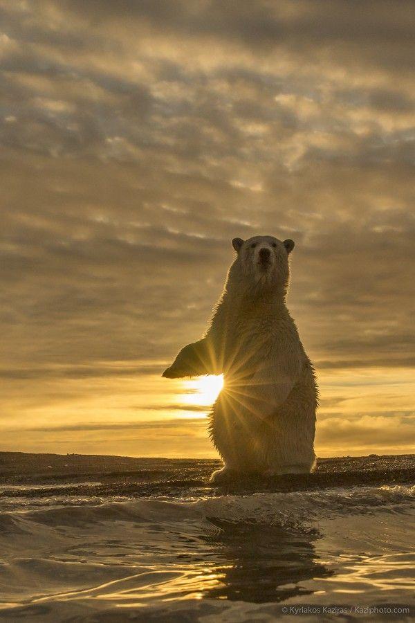Oso polar en el ocaso