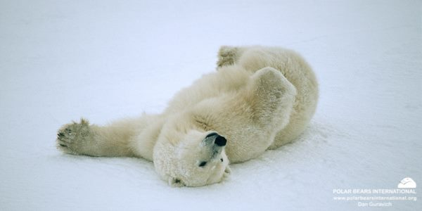 oso polar revolcandose en la nieve