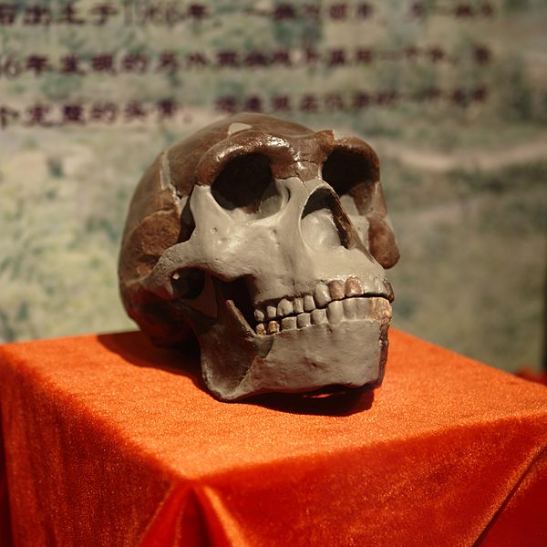 Peking_Man_Skull_(replica)_presented_at_Paleozoological_Museum_of_China Yan Li