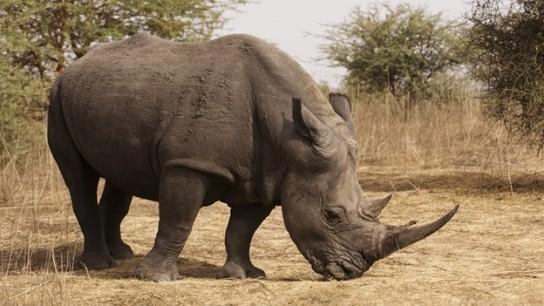 Rinoceronte-en-Peligro-de-Extinción-por-Creencia-de-que-su-Cuerno-Cura-el-Cáncer