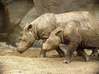 Rinocerontes de Sumatra en zoo