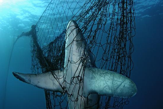 tiburon-zorro-entre-redes
