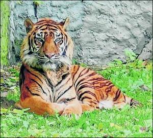 tigre de sumatra-300x272