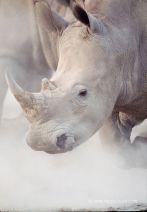 Kenya, parc national de Nakuru, rhinoceros blanc, Ceratotherium simum
