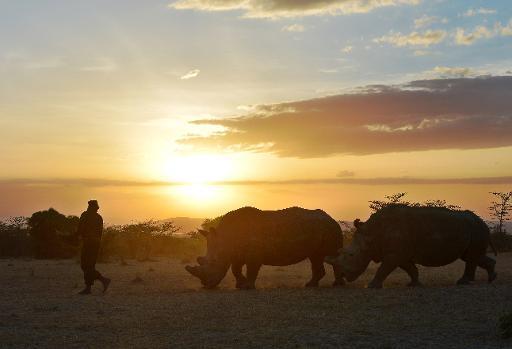 guardabosques camina delante de dos rinocerontes blancos del norte el 15 de enero de 2015 en la reserva Ol Pejeta Kenia AFP  Tony Karumba