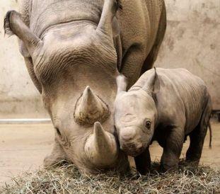 bebe rinoceronte blanco con su madre